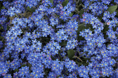 Blue forget me not flowers. Blue forget-me-not flowers, the symbol of love Royalty Free Stock Photo