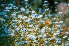 Blue Forget Me Not flowers on blurred background. Blue Forget Me Not flowers on blurred background Stock Photos