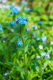 Blue forget me not flowers bunch Royalty Free Stock Images