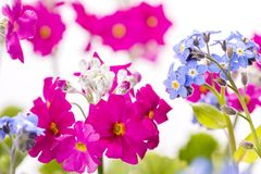 Forget-me-not flowers and Primula. Blue Forget-me-not flowers and close up pink Primula flowers Royalty Free Stock Photo