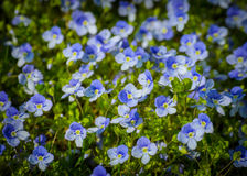 Blue forget-me-not flowers Stock Photography