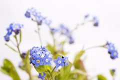 Forget-me-not flowers. Blue Forget-me-not flowers in front of white background Stock Photography