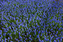 Blue forget-me-not flowers in holland park. Royalty Free Stock Photography