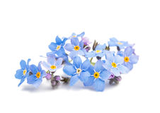 Blue forget-me-not flowers isolated. On white background Royalty Free Stock Images