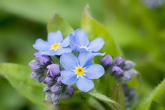 Blue forget me not flowers Stock Image
