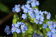 Blue Forget-me-not flowers Royalty Free Stock Photography