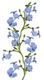 Blue forget-me-not flowers stripe isolated on white Royalty Free Stock Photography