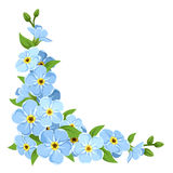 Blue forget-me-not flowers. Vector corner background. Royalty Free Stock Image