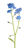 Blue forget-me-not isolated flowe Stock Photography