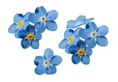 Blue forget me not spring flowers. Decorative elements vector set. Blue forget me not spring flowers isolated on white background. Photo realism macro vector illustration
