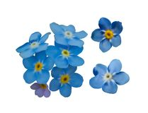 Blue forget me not spring flowers. Decorative elements vector set. Stock Image