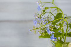 Blue forget me nots close-up on a blue background. Template for creative projects Royalty Free Stock Photos