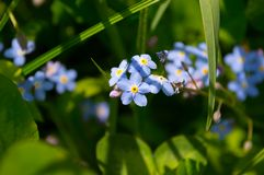 Blue forget-me-nots flowers in grass royalty free stock photos