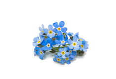 Free Blue Forget-me-nots Isolated Stock Photography - 98913142