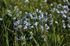 Blue forget-me-nots in the wild grass royalty free stock photography