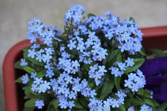Blue Forgetmenot blooming Stock Photography