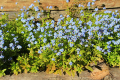 Blue forgetmenot flowers full of sunshine Stock Photography