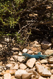 Blue Formentera Lizard. A photo of the famous blue lizards only living on the isle of Formentera royalty free stock photos