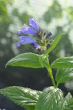 Blue fowers of wild catmints. Blooming Nepeta subsessilis, wild catmints from Far East Stock Photography