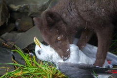 Blue Fox breaks bird Seagull, caught on rookery. Real killer and predator angry or nervously-frightened eyes. Blue Fox gnaw Seagull, caught on rookery. Aleutian stock photos