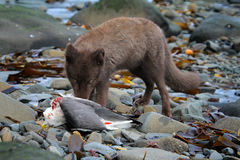 Blue Fox breaks bird Seagull, caught on rookery. Real killer and predator angry or nervously-frightened eyes. Blue Fox gnaw Seagull, caught on rookery. Aleutian stock photography