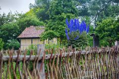 Blue foxglove in garden in front of farmhouse. Blue foxglove in green garden in front of farmhouse royalty free stock photo