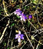 Blue fragile flowers Spring walk calm Stock Images