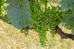 Blue Frankish (Blaufraenkisch) grape in Burgenland Stock Images
