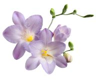Blue freesia Royalty Free Stock Photography