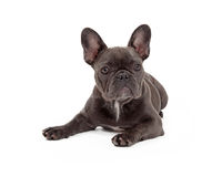 Blue French Bulldog Laying Royalty Free Stock Image
