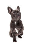 Blue French Bulldog Paw Up royalty free stock photography