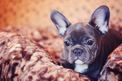 Blue french bulldog puppy headshot Royalty Free Stock Photography