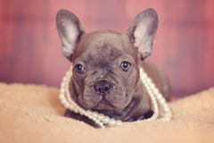Blue french bulldog puppy in pearls Royalty Free Stock Photo