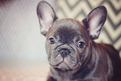 Blue french bulldog puppy Royalty Free Stock Images