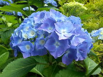 Blue French Hydrangea. Head or bloom Stock Photos