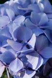 Blue fresh hydrangea , closed up stock photography