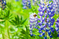 Blue fresh lupines Stock Photography
