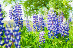 Blue fresh lupines Stock Photo