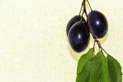 Blue fresh ripe plums on the branch with leaves. Three plums on a branch with leaves Stock Images