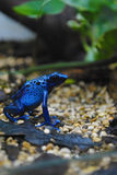 Blue frog. Sitting on stone and sheet Stock Images