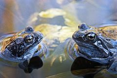 Blue frogs Royalty Free Stock Photos