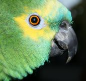 Blue Fronted Amazon. Portrait of a blue fronted amazon, close up, 25 years old, male Stock Photos
