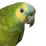 Blue-fronted Amazon Royalty Free Stock Photo