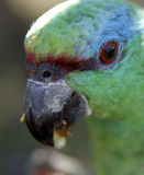 Blue-Fronted Amazon. Amazona aestiva Royalty Free Stock Photography