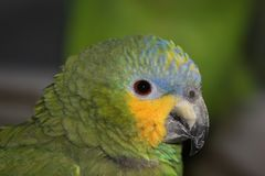 Blue Fronted Amazon stock image