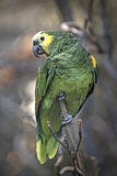 Blue-fronted Amazon (Amazona aestiva) Royalty Free Stock Images