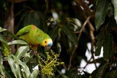 Blue-fronted Amazon parakeet Stock Photo
