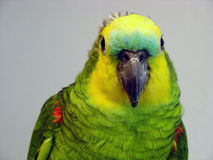 Blue-fronted Amazon parrot Stock Photos