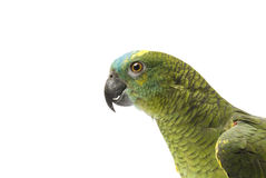 Blue fronted Amazon parrot Royalty Free Stock Photography