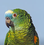 Blue fronted amazon parrot Royalty Free Stock Images